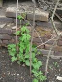 Khet Garden Vines